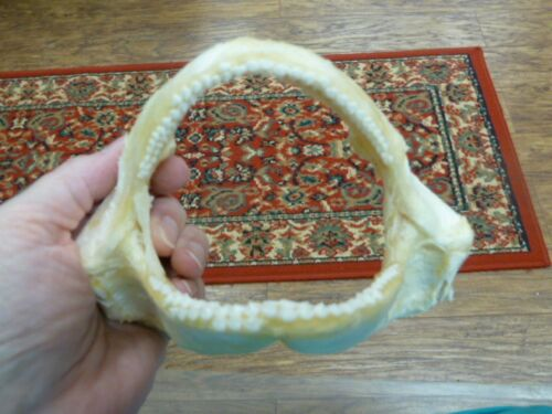 "6/"" Tawny Nurse SHARK jaw species carpet sharks I love jaws teeth sj275-30-1"