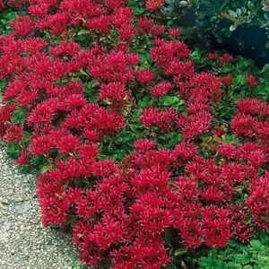 Sedum-Summer-Glory-50-Seeds-BOGO-50-off-SALE