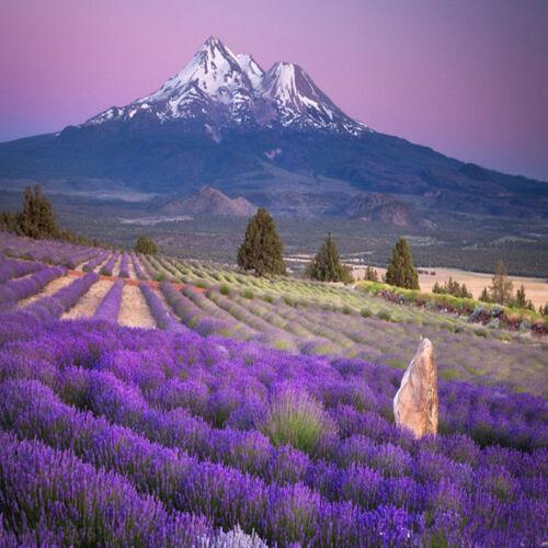 Lavandula angustifolia Lavendelsamen^\ O4G8 400 Samen Echter Lavendel