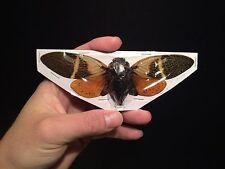 Entomologie Insecte Superbe Cigale Angamiana floridula A1 de Thailande!!