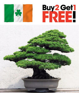 20 Seeds Rare Japanese White Pine Bonsai Tree Pinus Parviflora Ebay