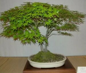 Bonsai Starter Tree Kit Seeds Lrg Pot Tools Easy Diy Gift Garden Ebay