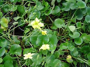 Water plant villarsia reniformis healthy 14cm pot pretty image is loading water plant villarsia reniformis healthy 14cm pot pretty mightylinksfo