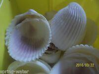 Ocean Sea Shell Lot Of 12 Philippine Cockle Craft Aquarium Nautical <>