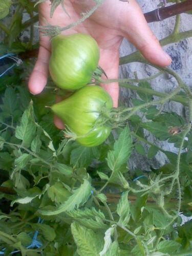 graines de tomate téton de vénus rouge sachet 30 graines culture en procédé bio