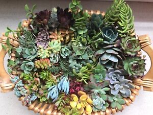 SUCCULENTS-20-x-succulent-cuttings-freshly-cut-No-repeat-cuttings