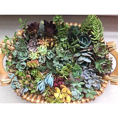 SUCCULENTS 20 x succulent cuttings, freshly cut - No repeat cuttings