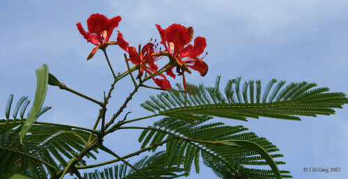 Flammenbaum auch Flamboyant genannt Delonix regia 10 Samen
