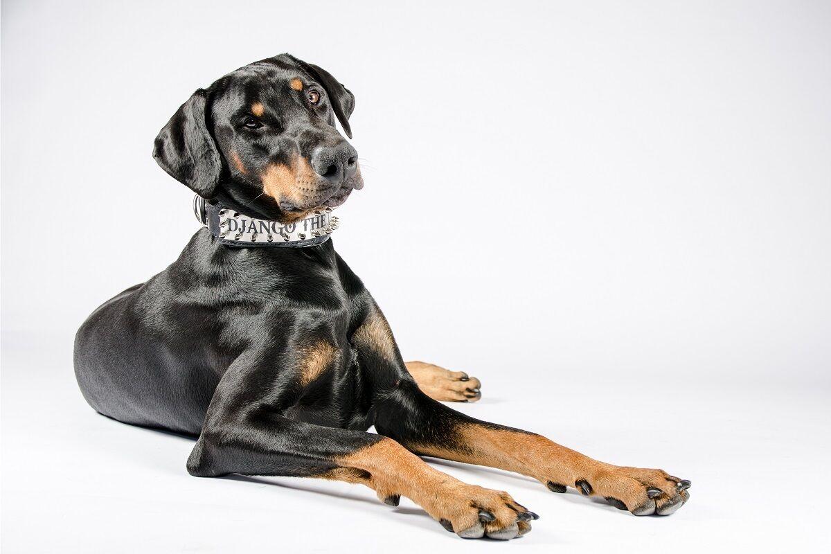 LUCIO Calpurnio BESTIA Personalizzato Personalizzato Personalizzato in pelle per cani collare 2.5 Pollici di larghezza imbottito. MADE in Europe d43e56