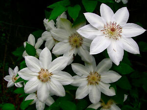 Clematis henryi large white flowers june to september 1 litre pot ebay image is loading clematis henryi large white flowers june to september mightylinksfo Gallery