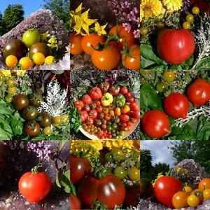 tomate ber 60 samen bunte mischung tomatensamen 20. Black Bedroom Furniture Sets. Home Design Ideas