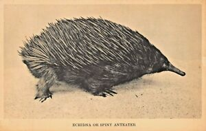 ECHIDNA-OR-SPINY-ANTEATER-FIELD-MUSEUM-PHOTO-POSTCARD