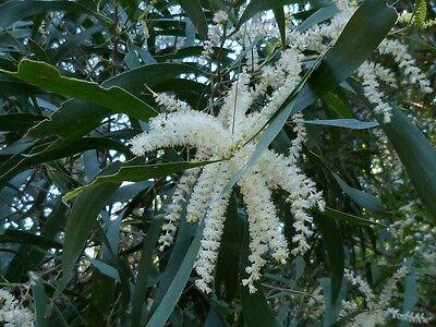 MAIDEN'S WATTLE (Acacia maidenii) 30 seeds
