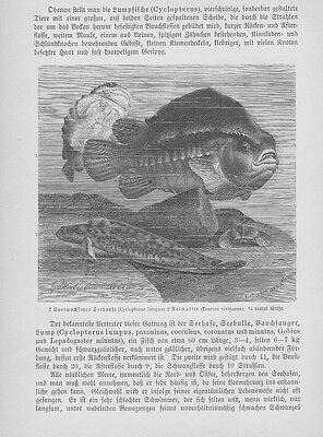 Seehase Cyclopterus Aaalmutter Holzstiche Von 1892 Pegasus Fische SchöNer Auftritt