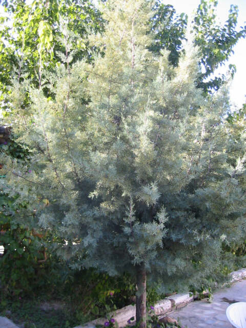 Blue Arizona Cypress- CUPRESSUS ARIZONICA - 20 Seeds Trees