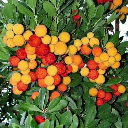 ARBUTUS unedo Strawberry Tree Seeds ES 126