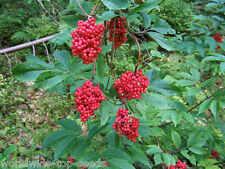 "Roter Holunder  Sambucus racemosa  100 exotische Samen "" Alles nur 1 Euro"""