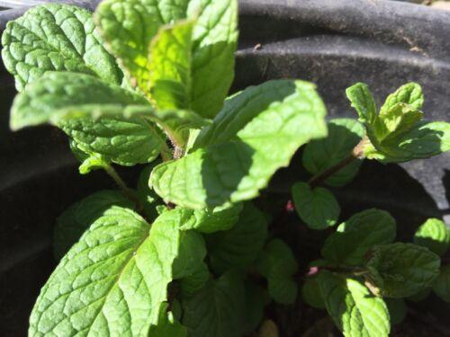 Sweet Mint Mojito Mint Herb Plant Cuttings 20