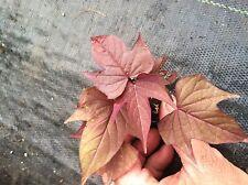 IPOMOEA SWEET POTATO VINE -  BI Rusty Red  - 6 PLANTS - STARTER PLANTS