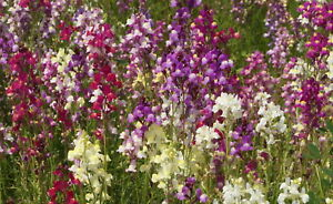 Details about 4000 Spurred Snapdragon Northern Lights Flower Seeds Linaria  Maroccana