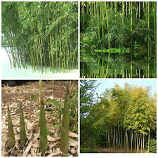 "50 semi di Phyllostachys heteroclada,Bambù d'acqua, Water Bamboo ""Bambù gigante"""