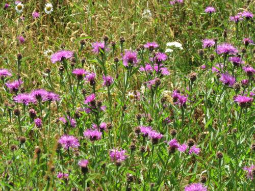 Centaurea Scabiosa Knapweed /'Greater /' 150 Seeds Wildflower