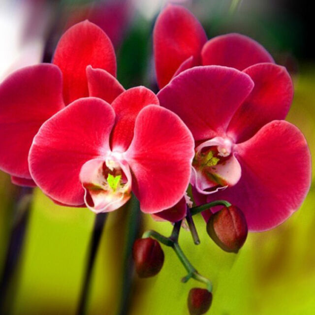 Orchid Flower Phalaenopsis Orchids Seeds (100 Pcs) | eBay on dracula orchid, mokara orchid, bright purple orchid, oncidium orchid, phalaenopsis bellina, maxillaria orchid, moth orchid, miltonia orchid, giant orchid, yellow orchid, flowers orchid, cattleya orchid, doritis orchid, dendrobium orchid, vanda orchid, vanilla orchid, jewel orchid, most rare orchid, ficus elastica, cymbidium orchid, most exotic orchid, paphiopedilum orchid,