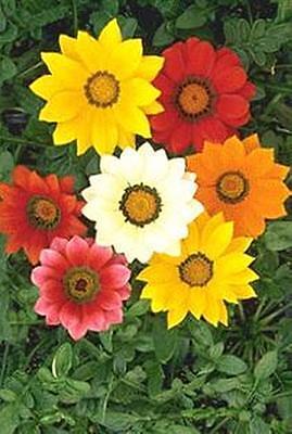 Gazania Daybreak Series White Annual Seeds