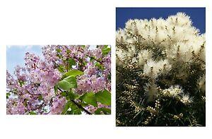 der-wunderschoene-Blauglockenbaum-und-der-tolle-Teebaum-im-Samen-Spar-Set
