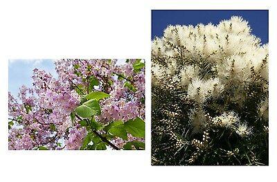 2 SUPER Kübelpflanzen Samen-Spar-Set rosa und gelbe Engels-Trompete !