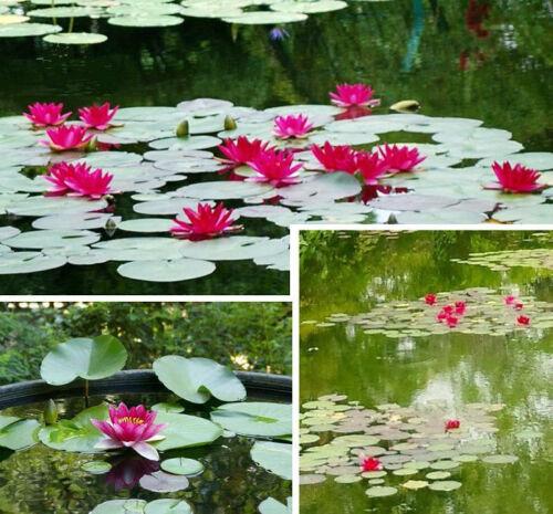 Setzt besondere Akzente im Gartenteich rote Seerose Nymphea burgundi princess