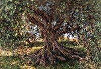 Papier Fototapete 8-531 Olive Tree Br 368 x LH 254 cm [Komar]