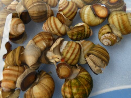 Sumpfdeckelschnecke sehr gute Algenfresser 20 Stück