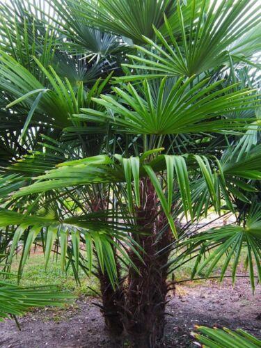 "Frostgewöhnte Trachycarpus princeps /""Marmor Hanfpalme/"" bis 130 cm Höhe"