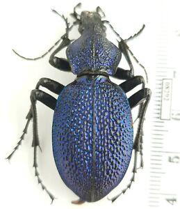 Carabidae Carabus (Procerus) caucasicus antonkozlovi Armenia 46mm