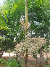 Euterpe oleracea Pará Dwarf - 10 fresh palm seeds- Acai Palm
