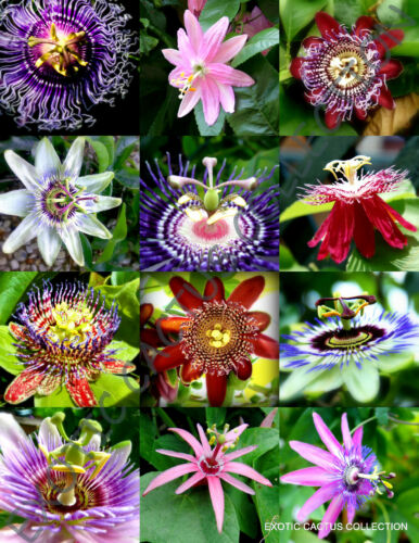 FLOWERING PASSIFLORA MIX passion fruit exotic edible tropical vine seed 15 seeds