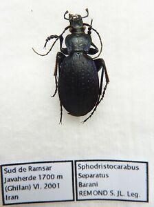 Confiant Carabus Sphodristocarabus Separatus Baranii (male A1) From Persia (carabidae)