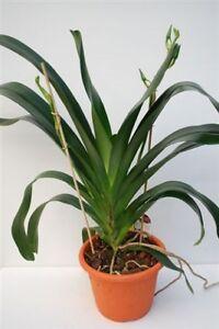 BANDTILE1 blühfähige Orchidee der Sorte: Angraecum Veitchii, 16-18cm Topf