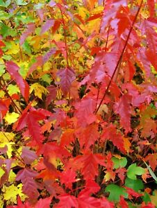 Acer-ginnala-Feuerahorn-80-100cm-rote-Herbstfaerbung-ideal-fuer-Gehoelzhecke