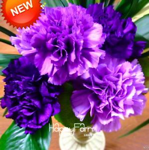 200-pieces-graines-pourpre-Carnation-Bonsai-plantes-Dianthus-caryophyllus-fleurs-2019