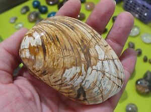 XL-86mm-223g-CLAM-SHELL-BIVALVE-FOSSILE-DE-COQUE-Madagascar-D25-coquillage