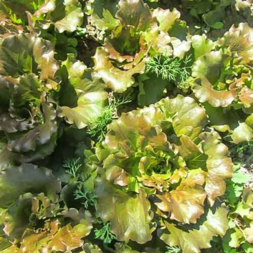 """seeds of lettuce and dill from Russia Russian Salad /""""Barbados/"""" and dill /""""Max/"""""""