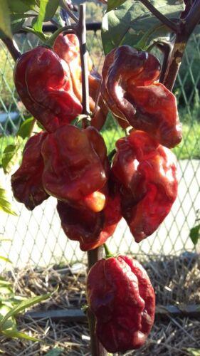 10 Hot Chili Pepper Graines Bleu YAKI Fawn légumes organiques-Haute Qualité