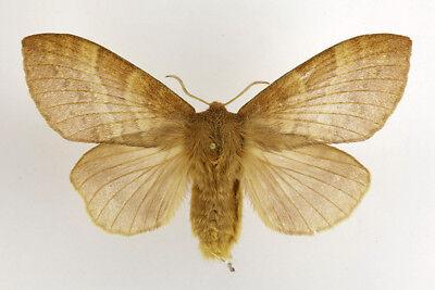 mounted Eugnorisma eminens Noctuidae moth from Kazakhstan