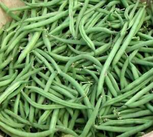 Blue Lake 274 Bush Bean Seed - Fresh seed - Packed for 2021
