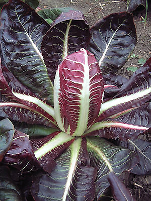 ORGANIC VEGETABLE  CHICORY RED / ROSSA DI TREVISO 4(EARLY) 2.5 GRAM ~ 2250 SEEDS