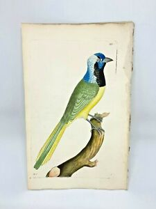 Peruvian-Jay-1783-RARE-SHAW-amp-NODDER-Hand-Colored-Copper-Engraving