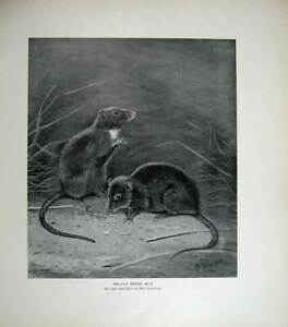 Old Antique Print 1905 Millais Melanic Brown Rats Mus Hibernicus Nature 20th