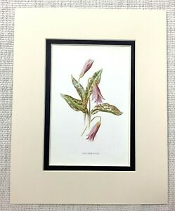 1913-Antico-Botanico-Stampa-Dogtooth-Viola-Pianta-Rosa-Viola-Fiori-Floreale